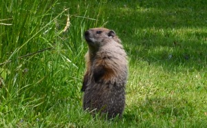 Marmot marvel