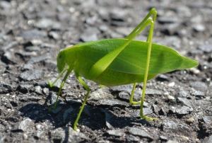 Who saw that leaf bug? Katydid!