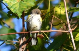 Warblers warble(but they don't fall down)