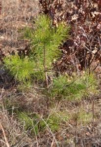 Tiny pine