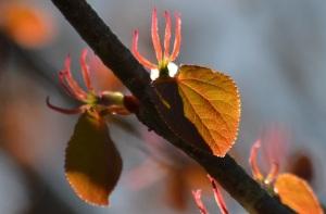 Leafy grebe