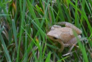 Featherweight grass hopper