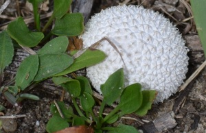 Lemon meringue mushroom