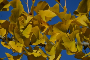 Ginkgo out on a limb