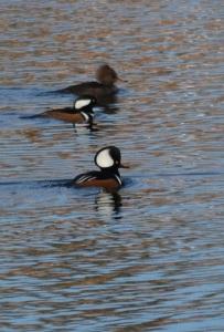 Three duck sight