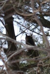 Great blurred owl