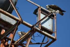 Spotlight on ospreys