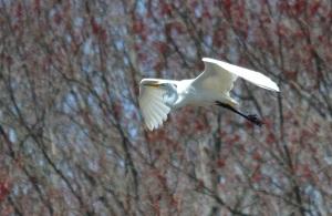 Elegant egret egress