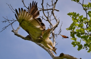 Birdy box score: Oriole - 1 Hawk - 0