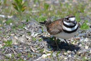 Killdeer was here