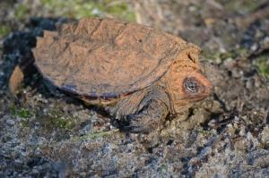 Turtlette
