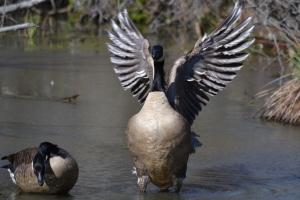 Spread-goose