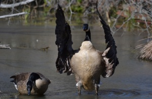 'W' is for 'waterfowl'