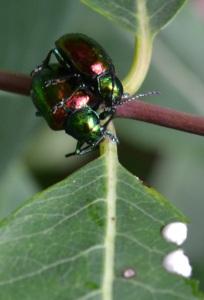 dogbane beetle 2