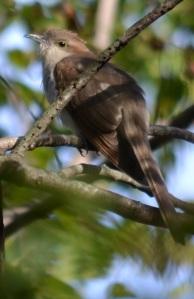 Cuckoo clock-watcher
