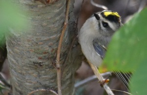 The Return of the Kinglet