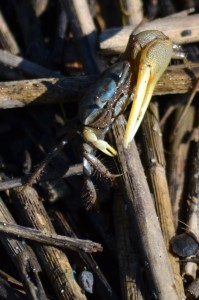 tiny-atlantic-marsh-fiddler-crab-2